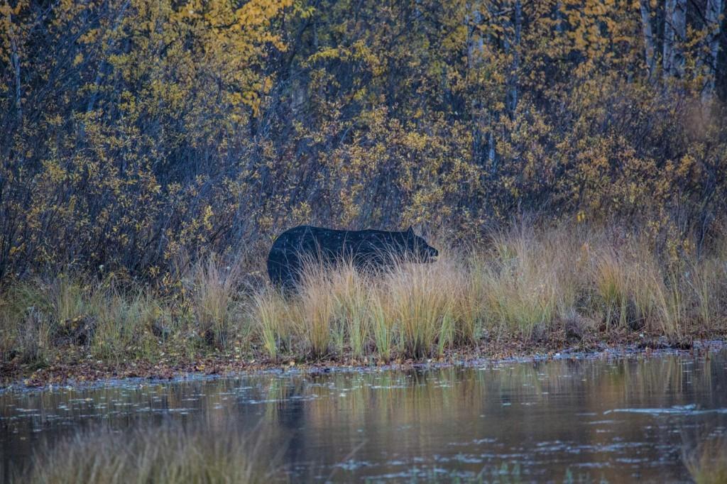 Bear Silhouette