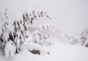 Snow laden trees - Yellowstone