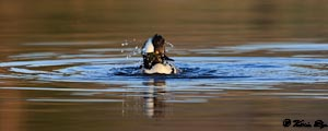 Bathing drake Hooded Merganser