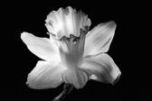 Daffodil studio