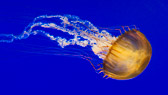 Pacific Sea Nettle jellyfish on blue water